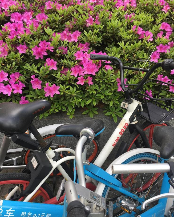 Spring in Shanghai: Blossoms and bike sharing.