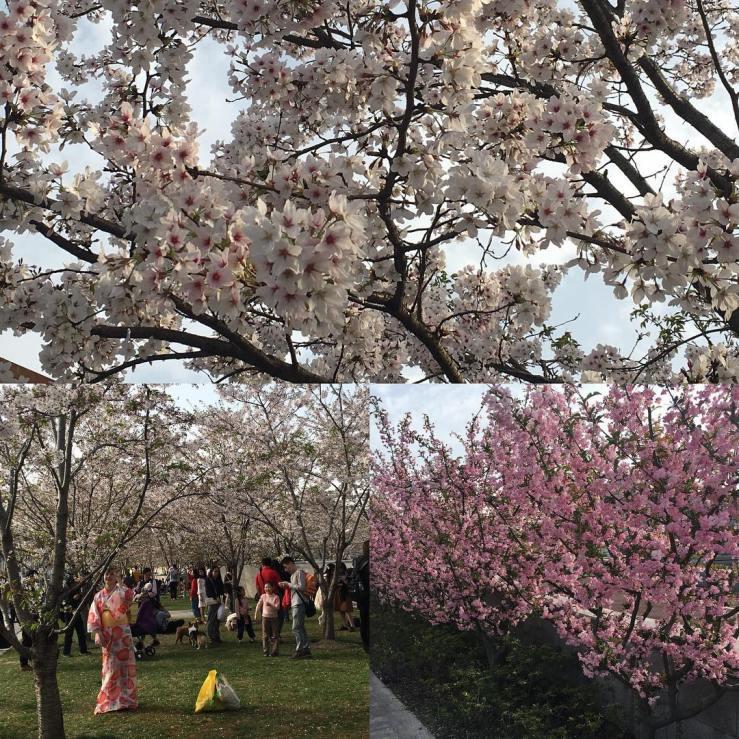 Cherry blossoms on the West Bund, Shanghai.
