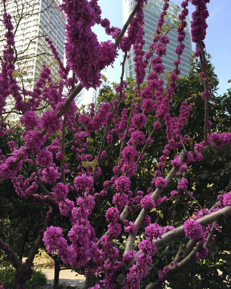 Beautiful purple blossoms on tree