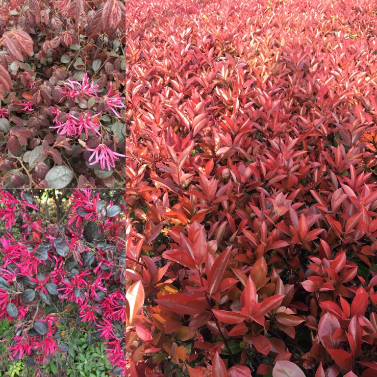 Red and purple leaves