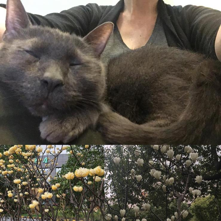 Tophet cat and spring blossoms in Shanghai.